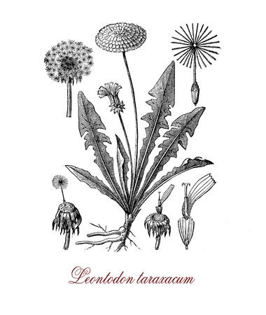 Botanical vintage engraving of Leontodon taraxacum or common dandelium,  weed used as medical herb or in food preparation (dandelion wine).The yellow flowers turn in round balls dispersed with the wind known as blowballs