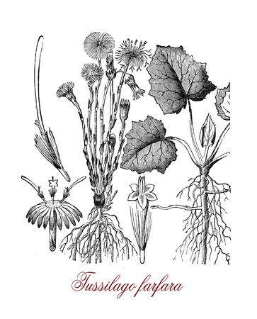 Botanical vintage engraving of tussilago farfara or coltsfoot, herbaceous plant with yellow flowers, used in traditional medicine but toxic for the liver. Stock Photo