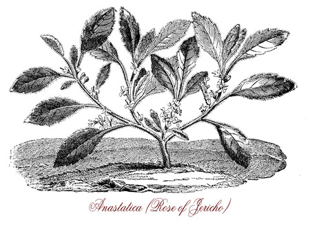 Vintage botanical engraving of Anastatica or white mustard flower, common called Rose of Jericho, with small white flowers. It grows in desertic and arid areas in Noth Africa and Middle East curling in a tight ball, uncurling in raining seasons.