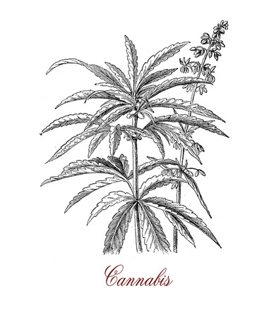 Vintage botanical print of Cannabis sativa herbaceous plant: each part of the plant is harvested differently, the seeds for hempseed oil, flowers for cannabinoids consumed for recreational and medicinal purpose Stock Photo