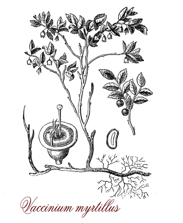 Vintage botanical engraving of European blueberry,shrub with edible fruits of blue color used also in traditional medicine for circulatory problems, diabetes and as vision aids. Blueberry is used as food in pies,cakes,muffins,cookies,syrups and juices.