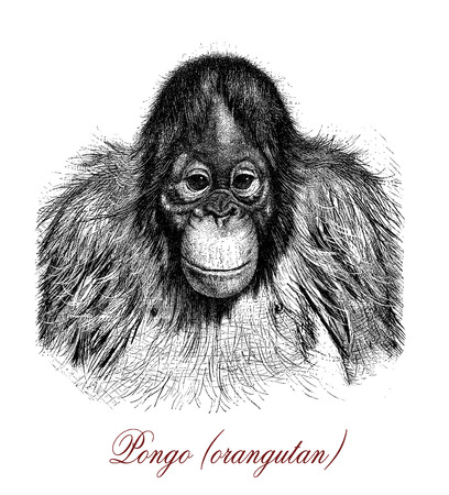 Vintage engraving of Orangutan, great arboreal ape native to Indonesia and Malaysia