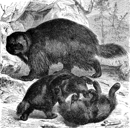 Vintage engraving of wolverine animals playing together. Wolverine is a muscular carnivore mustelidae resembling a bear and lives in Nordic cold regions.