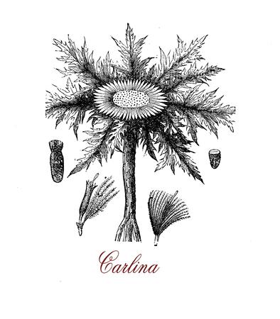 Vintage botanical engraving of Carlina acaulis, flowering edible plant of the alpine regions, used for essential oils in herbal medicine Stock Photo