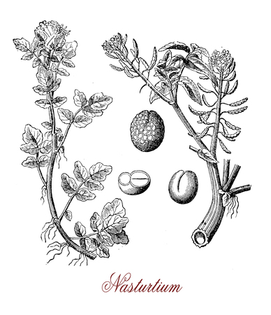 Vintage engraving of Nasturtium officinale or watercress,aquatic  edible plant with peppery taste