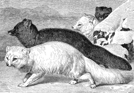 Vintage engraving of white fox and silver fox, one uses its white fur as in Arctic regions, the other is a melanistic variation with black fur and only the hair tips white.