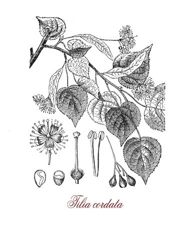 Vintage botanical engraving of tilia cordata or small-leaved lime, European ornamental tree used in herbal medicine and  in landscaping, as in the famous Unter den Linden alley in Berlin Stock Photo