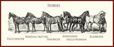 vintage illustration, horse purebred portraits:  field hunter, Norfolk trotter, Haflinger, Andalusian, Anglo-Norman, Kladruber Stock Photo
