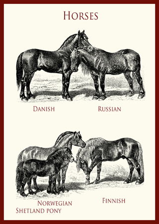 vintage equestrian illustration, powerful horse portraits:Danish, Russian,Norwegian Fjiord,Shetland pony, Finnish