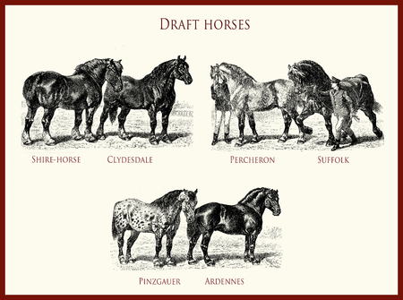 vintage equestrian illustration, powerful draft horse portraits:  Shire-horse, Clydesdale, Percheron, Suffolk, Pinzgauer, Ardennes Stock Photo
