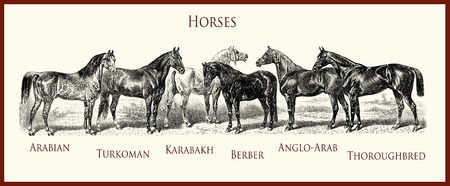 vintage equestrian illustration, horse purebred portraits: Arabian, Turkoman, Karabakh, Berber, Anglo-Arab, English thoroughbred, Stock Photo