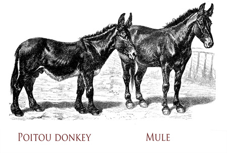 vintage engraving of Poitou donkey, the large donkey breed used for the production of large working mule. Mule is the offspring of a male donkey and a horse mare, more intelligent and obstinate then donkeys. Stock Photo