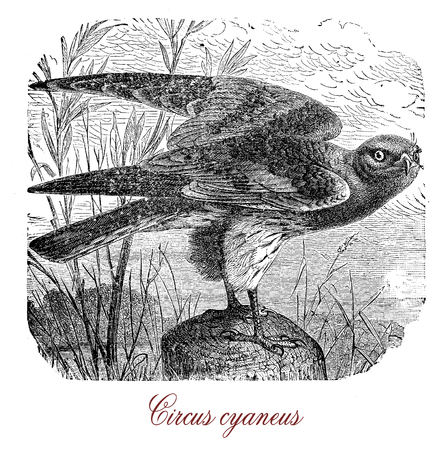 Vintage engraving of hen harrier or circus cyaneus, bird of prey living in temperate regions, in grassland,swamps, moorland and coastal prairies where hunts for small mammals