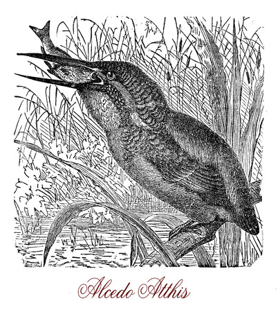 Vintage engraving of common kingfisher, small bird with beautiful blue and orange plumage and a long bill. It lives on riverbanks and feeds on fish diving with visual adaptation to see prey under water.