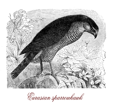 Vintage engraving of  Eurasian sparrowhawk, small bird of prey catching small birds and living in woodlands.It has short broad wings and long tail.