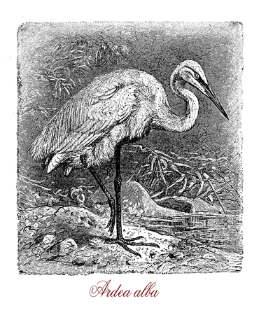 Vintage engraving of great egret or great white heron, large tropical heron with white plummage, yellow bill and black legs, it flights slowly with the neck retracted.