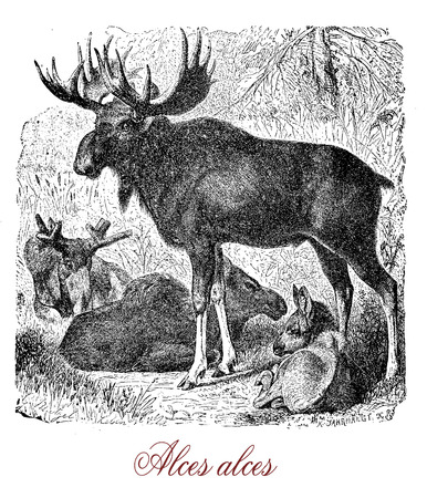 Vintage engraving of moose or elk, the heaviest species of the deer family, the male has broad palmated antlers  and lives in temperate subartic climates. It is a solitary animal and herbivore
