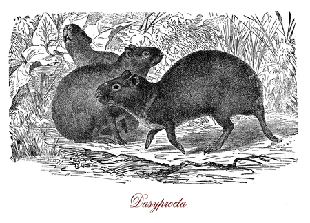 Vintage engraving of Agouti, south America and Middle America rodent, similar to guinea pig