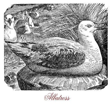 Vintage engraving of albatross,very large seabird of oceans where it feeds diving; it flight long distances but walks also very well with strong legs.