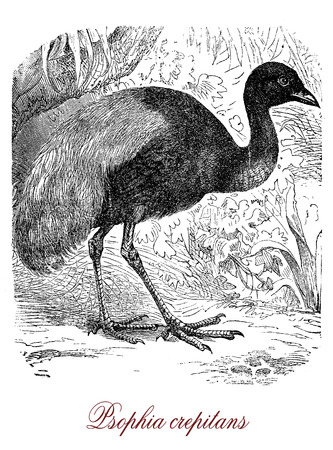 Vintage engraving of grey-winged trumpeter, guineafowl-like bird of tropical South America with long neck and legs.It sings very loudly and it is a more a  runner then a flier.