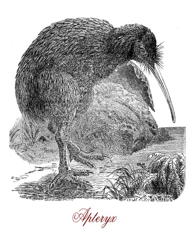 Vintage engraving of Kiwi or Apterix australis, flightless birds native to New Zealand. The greek-derived name means wingless.
