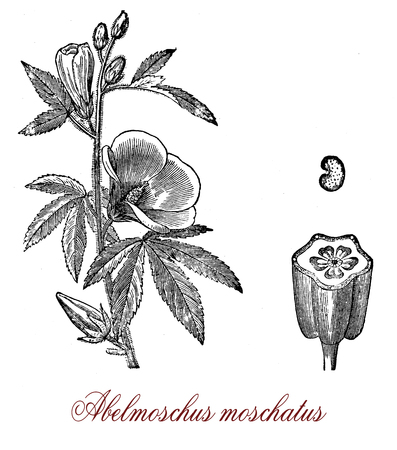 Vintage engraving of musk mallow, aromatic and medicinal plant native to Asia and Australia