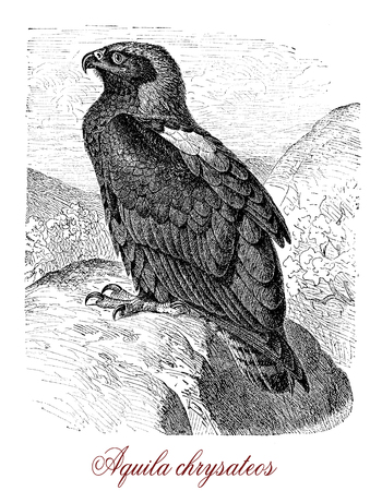 Vintage engraving of golden eagle (Aquila chrysaetos),  one of the best-known birds of prey in the Northern Hemisphere, dark brown with lighter golden-brown plumage. They build nests in high places and cliffs.