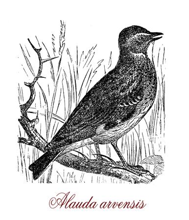 Vintage engraving of  Eurasian skylark, passerine bird living in farmland, known for the male song,