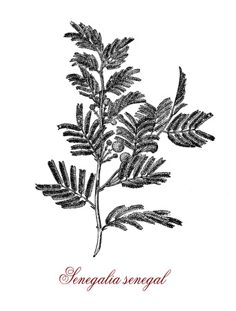 Vintage engraving of acacia senegal or gum acacia (senegalia senegal) , source of the best quality gum arabic or hashab gum.Used as food additive and in cosmetics. Stock Photo