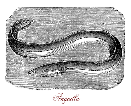 Vintage engraving of freshwater eel or anguilla, fish with snake-like body of  freshwater rivers, lakes, or estuaries. It migrates to ocean to reproduce and it is considered a food fish. Stock Photo