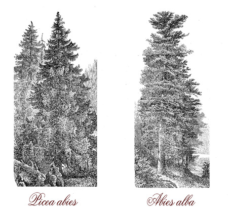 Vintage engraving of Norway spruce (picea abies), the Christmas tree (abies alba), and the European silver fir (abies alba) of white wood.