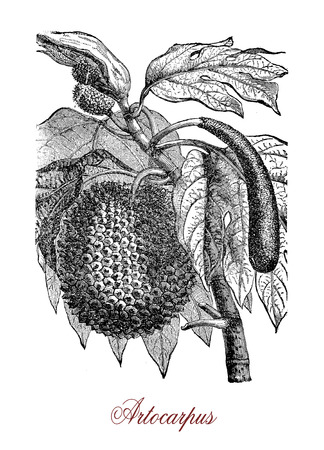 Vintage engraving of Artocarpus, tropical tree of Southeast Asia and Pacific commonly cultivated for the edible fruits called breadfruits.