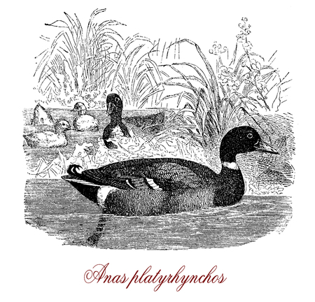Vintage engraving of mallard, very adaptable duck  living in wetland. The male has a glossy green head and the female a brown speckled plumage.