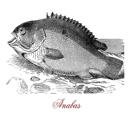 Vintage engraving of anabas, fish native to south and East Asia, carnivorous, can live out of water breathing air oxygen for extended periods of time. Stock Photo
