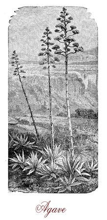 Vintage engraving of  agave,succulent plant with fleshy leaves native to Mexico and tropical areas of America, edible and used in traditional medicine