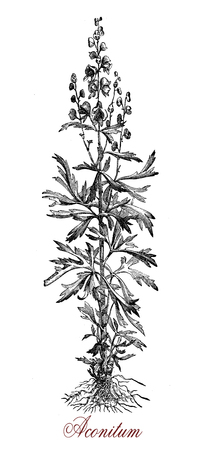 Vintage engraving of Aconitum, flowering perennial plant extremely poisonous with palmated leaves, blue or purple flowers and fruits as capsules with seeds.Several species of Aconitum have been used as arrow poison.