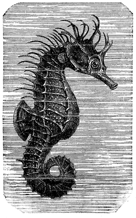 Vintage engraving of seahorse or hippocampus, small marine fish of shallow tropical and temperate waters with bony armor, prehensile tail and equine appearance