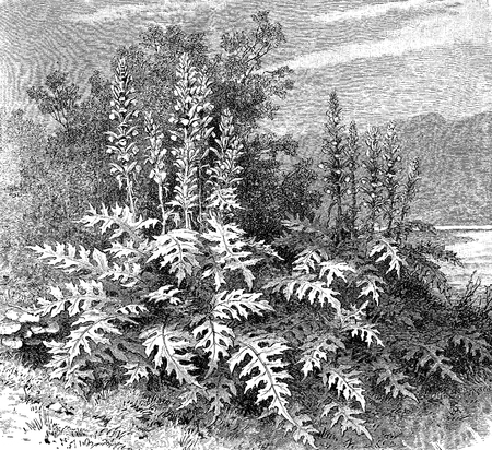 Vintage engraving of Acanthus mollis, herbaceus perennial thorny plant native to Mediterranean regions, grows in dry areas. The leaves inspired in ancient Greece the capital of Corinthian column.