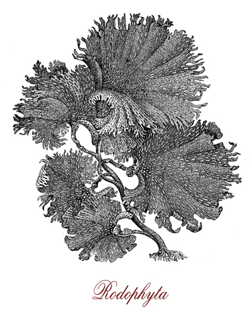 Vintage engraving of  red algae or Rhodophyta seaweed of marine and freshwater environments, traditional in Asian cuisine, used to produce agar, carragenans and other food additives.