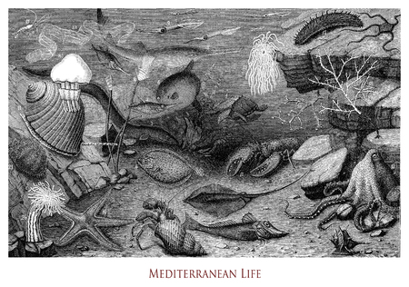 Vintage engraving of  Mediterranean underwater biological life, flora and marine zoology