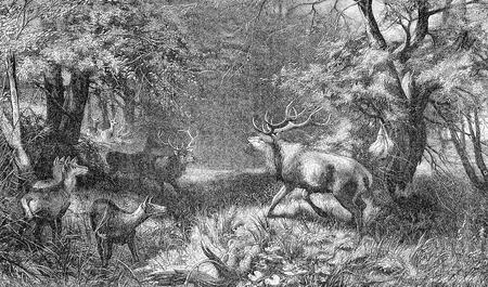 Two stags fighting, wildlife scene, vintage engraving