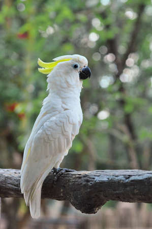 White cockatoo on the tree Stock Photo