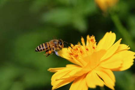 Macro honey bee feeding on the  flower