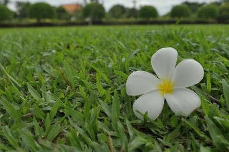 White flower after rain