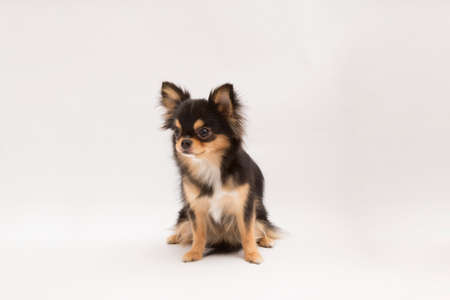 black and tan cream long coated Chihuahua isolated over white background Stock Photo