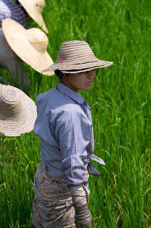 paddies: Rice Paddies Editorial