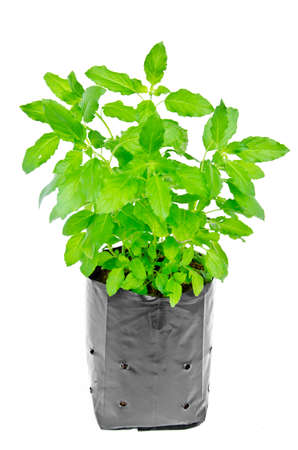 tulasi: Medicinal holy basil plant isolated on white background