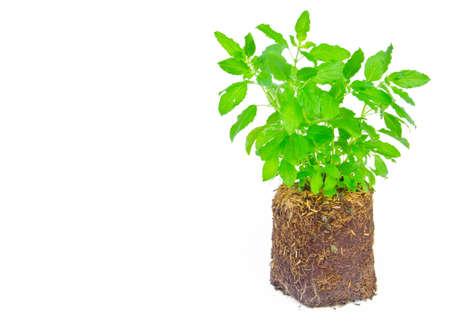 Medicinal holy basil plant isolated on white background photo