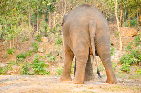 urinating: The back of the elephants at the urinating at Thailand