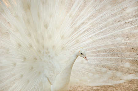 fanned: White peacock with feathers out Stock Photo